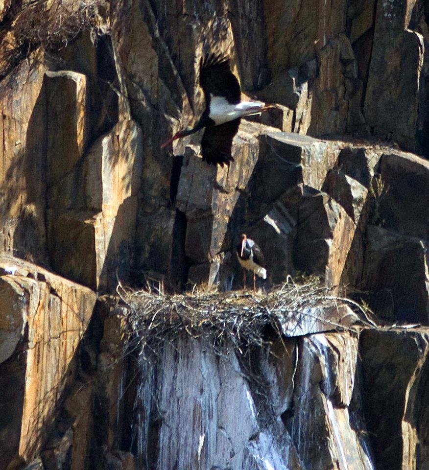 The Black stork pair