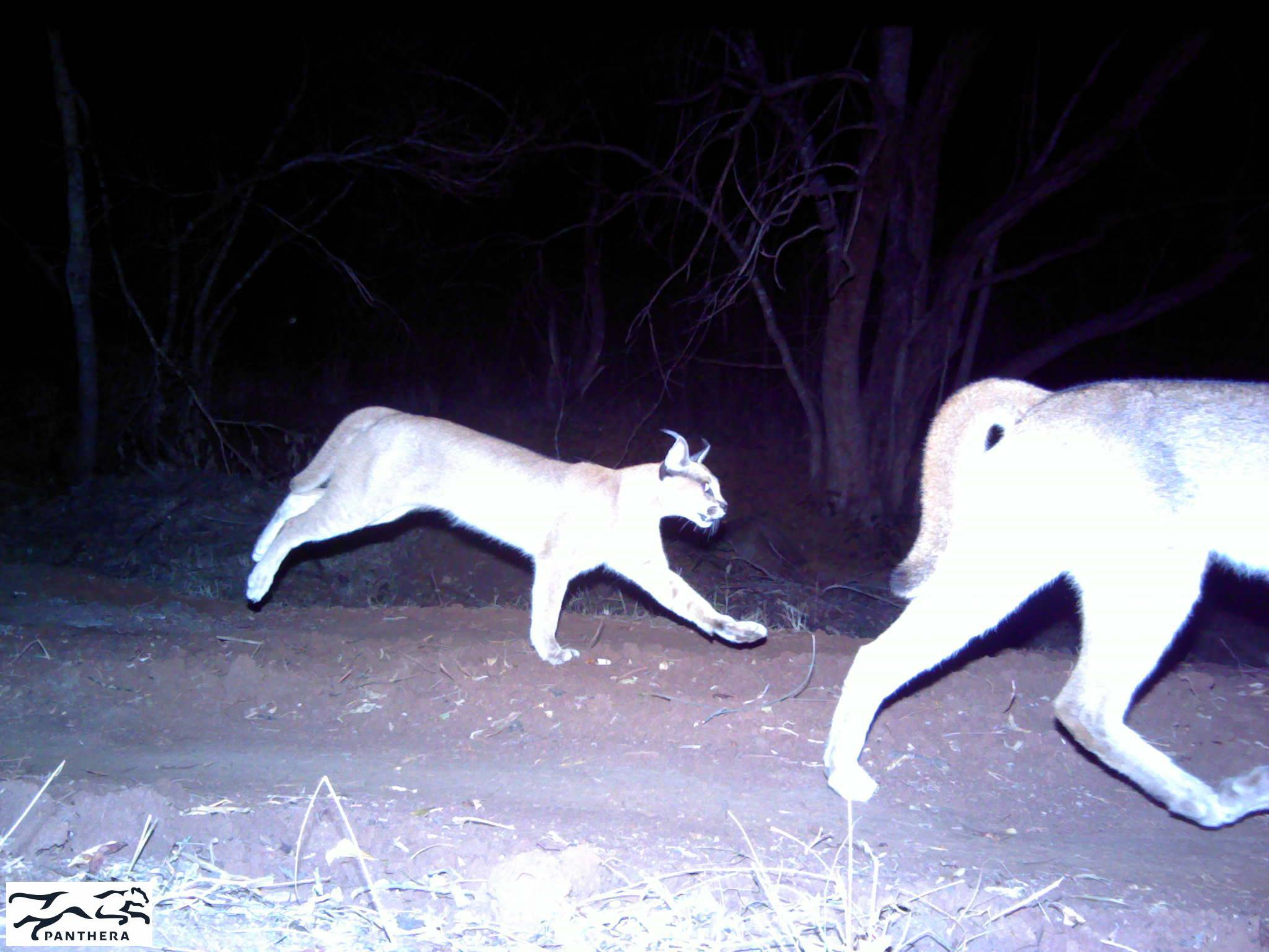two caracals